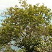Palo Santo-Bursera graveolens