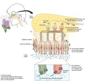 L'appareil olfactif