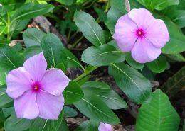 Pervenche de Madagascar ou l'essence d'une plante