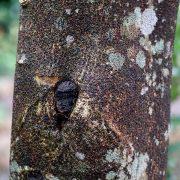 Huile essentielle d'agarwood