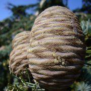 Cônes du Cèdre du Liban, un bois odorant