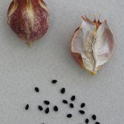 Nigelle: mycoses cutanées