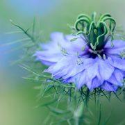Mycoses cutanées: fleur de Nigelle