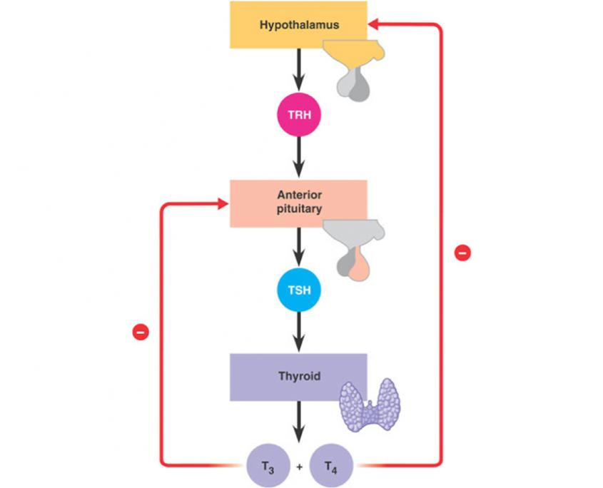 Rétrocontrôle négatif de la production de TSH par les hormones thyroïdiennes