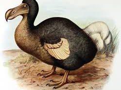 Raphus cucullatus, l'oiseau de nausée, le dodo mauricien
