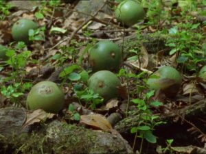 Tambalacoque (fruits) Sideroxylon grandiflorum