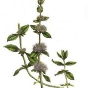 Mentha pulegium riche en cétones