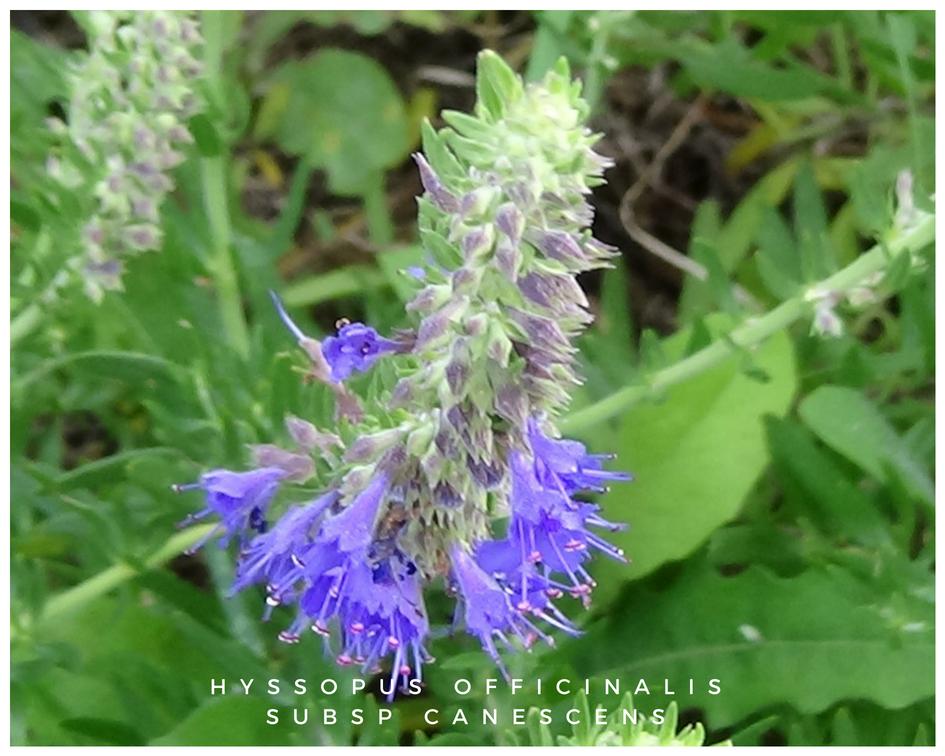 Hyssopus officinalis canescens Le Gattilier